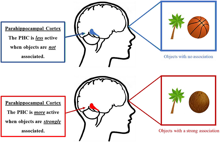 Figure 2 - The parahippocampal cortex (PHC) is active when processing scenes and associated objects.