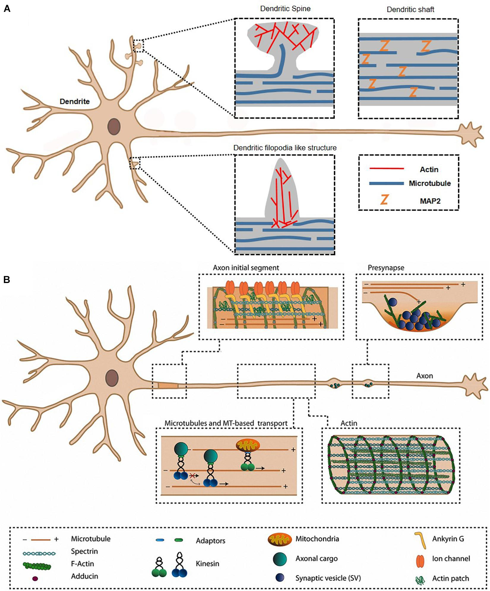 Frontiers   Direct Visualization Of Actin Filaments And Actin-Binding  Proteins In Neuronal Cells   Cell And Developmental Biology