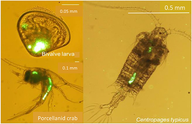 Figure 2 - Three different types of zooplankton: larva of a bivalve shellfish, a Porcellanid crab larva, and an adult copepod (Centropages typicus).