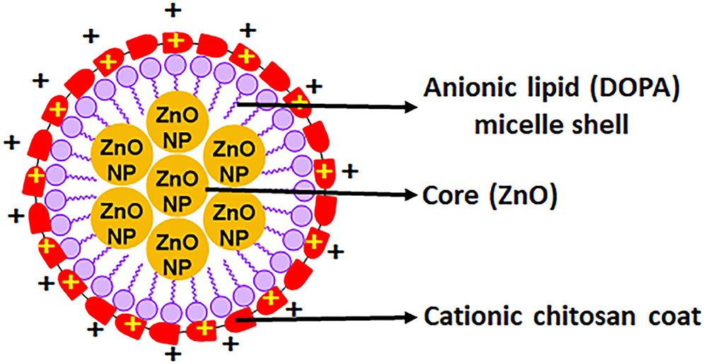 a streamlined study on chitosan zinc