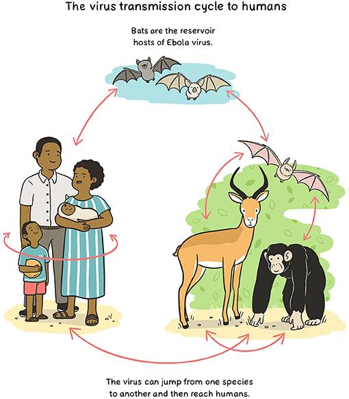 Figure 1 - Transmission of Ebola virus to humans.