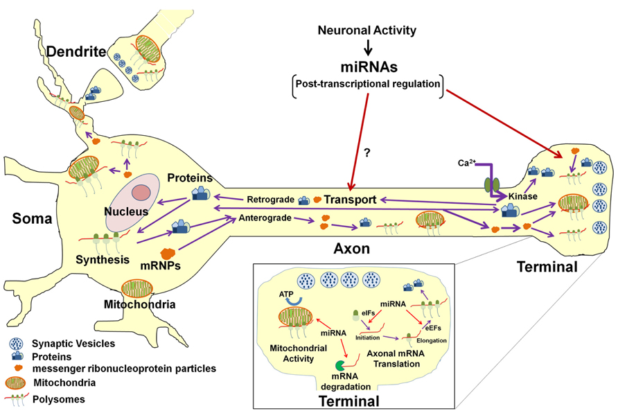Frontiers | MicroRNAs in the axon and presynaptic nerve ...