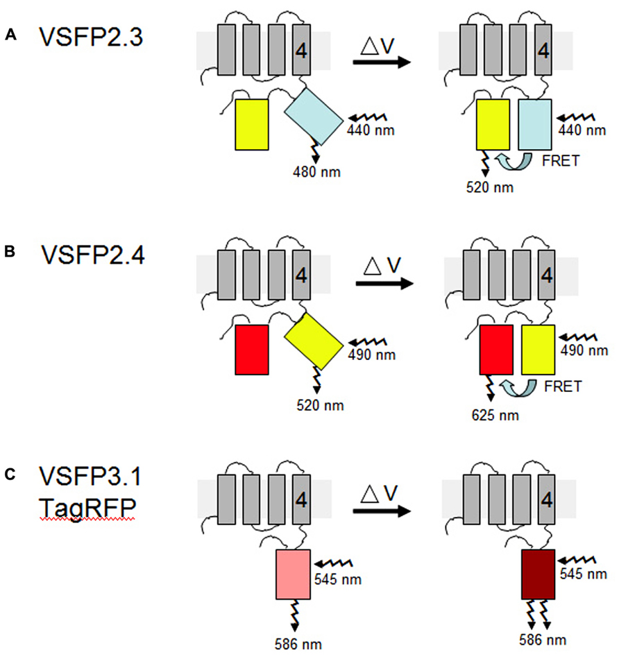 "Frontiers   Membrane ""potential-omics"": toward voltage imaging at ..."