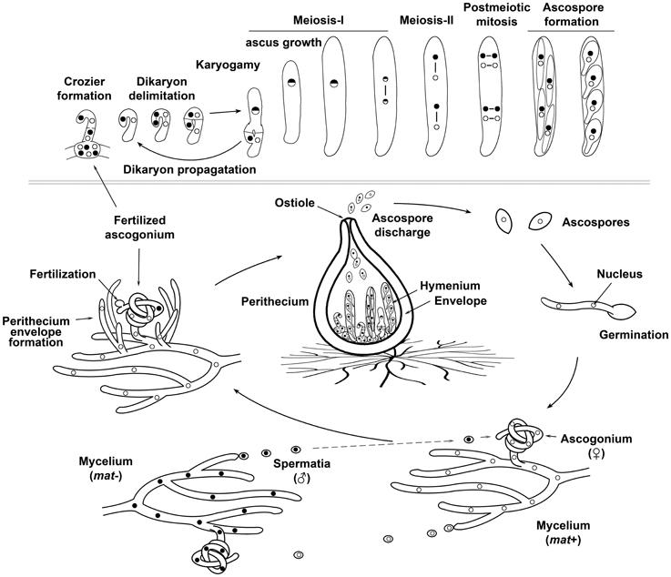Penicillium notatum asexual reproduction images