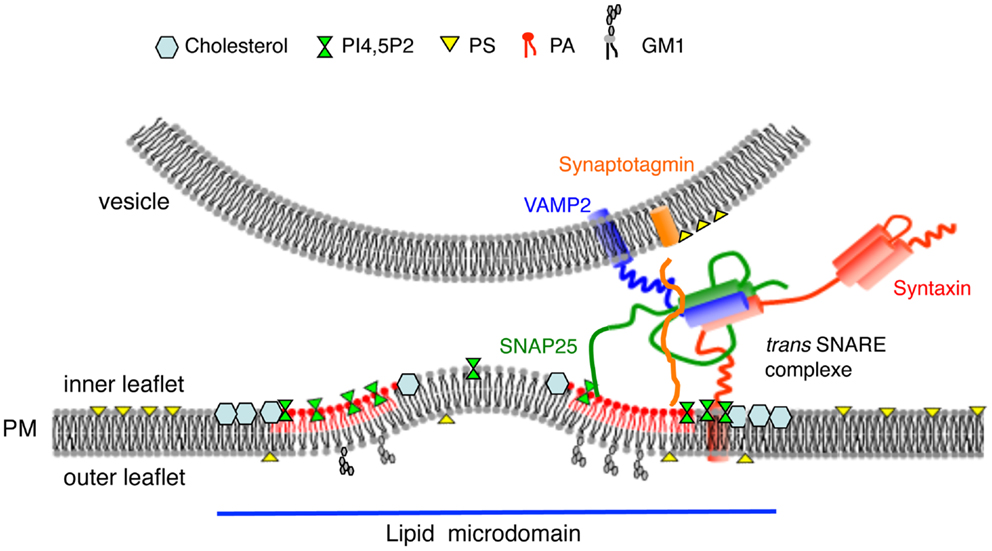 Frontiers Lipids In Regulated Exocytosis What Are They Doing