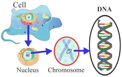 Figure 1 - The cell's membrane and the nucleus containing the DNA.