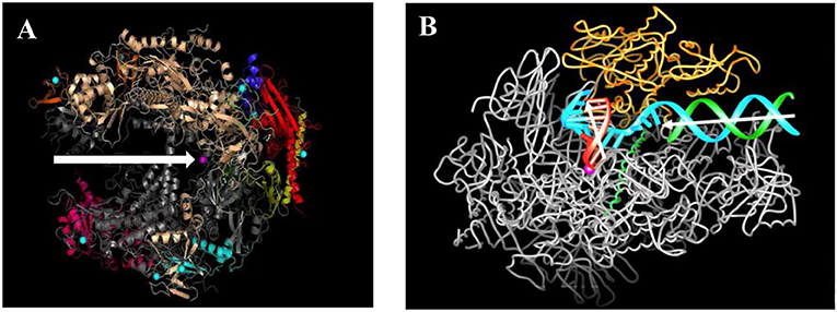 Figure 2 - The structure of the RNA polymerase II enzyme before and during transcription.
