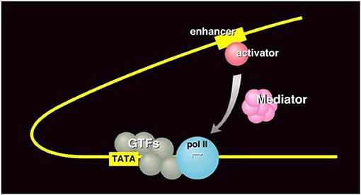 Figure 3 - RNA polymerase II transcription machinery.