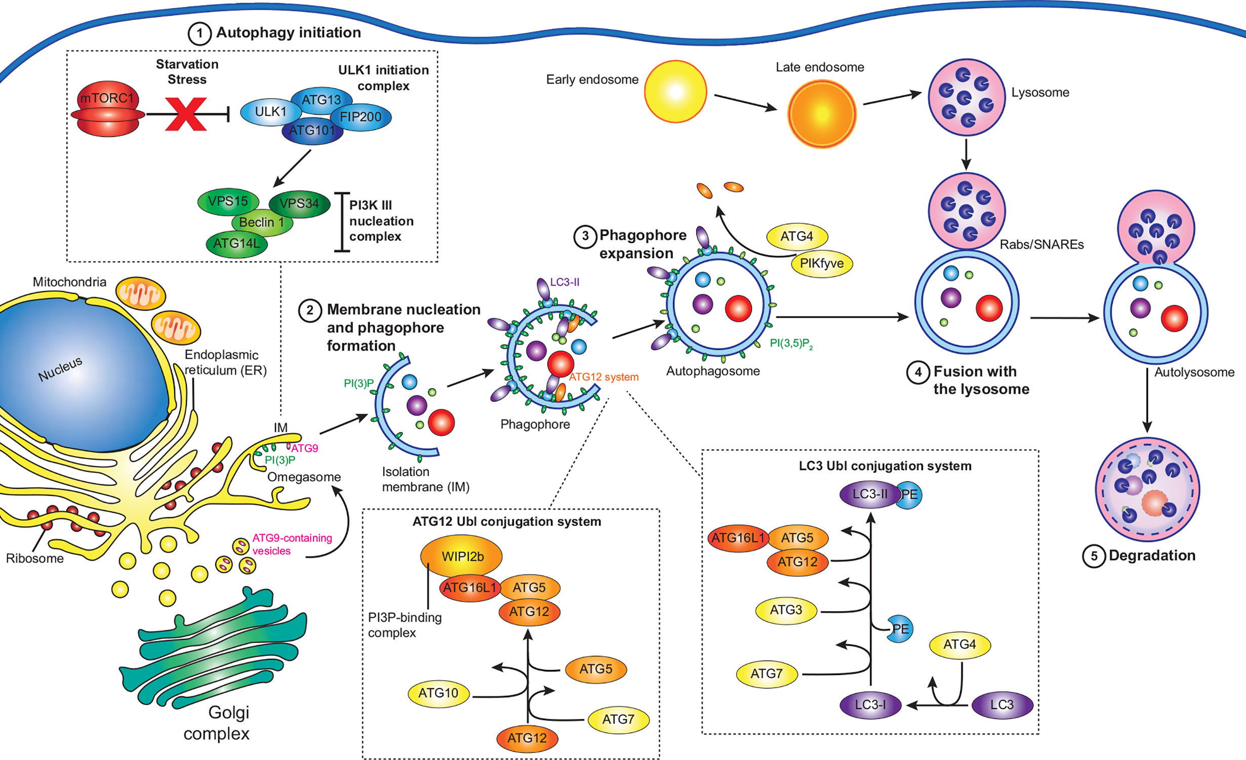 Frontiers Interfering With Autophagy The Opposing Strategies Deployed By Legionella Pneumophila And Coxiella Burnetii Effector Proteins Cellular And Infection Microbiology