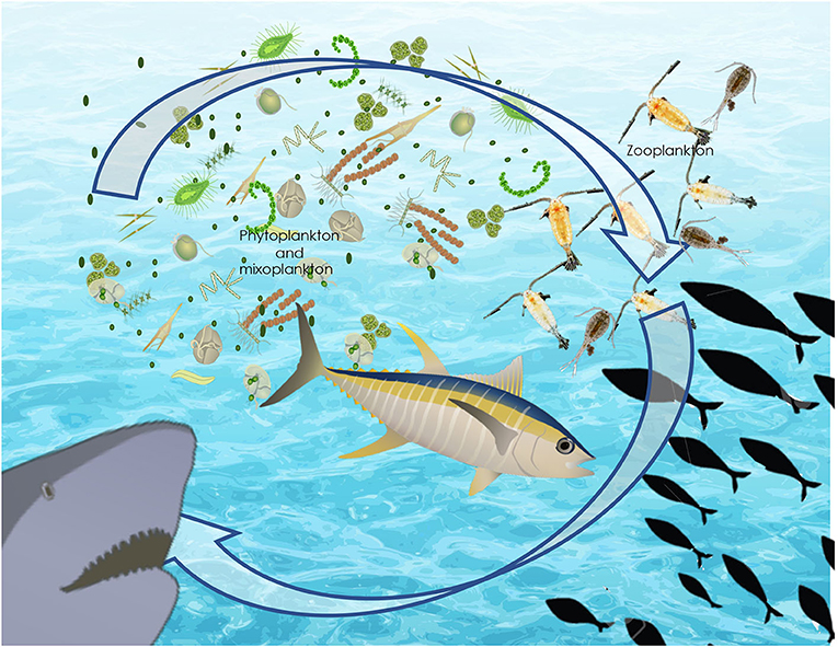 Figure 2 - Food for the fish, sharks, and other ocean organisms begins with the growth of phytoplankton.