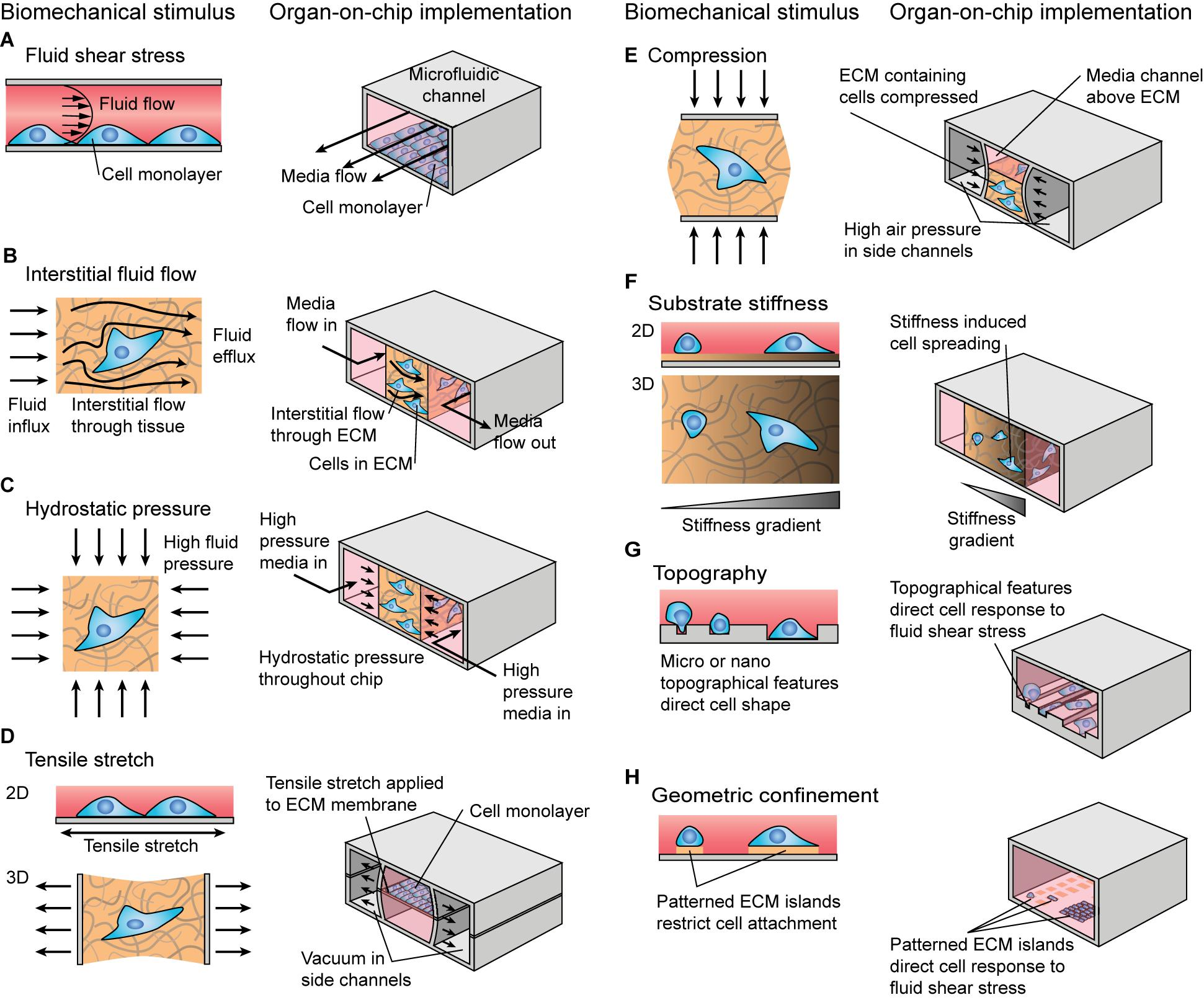 Frontiers   Mechanical Stimulation A Crucial Element of Organ on ...