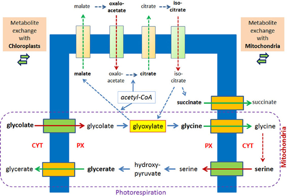 Frontiers Permeability Of The Peroxisomal Membrane