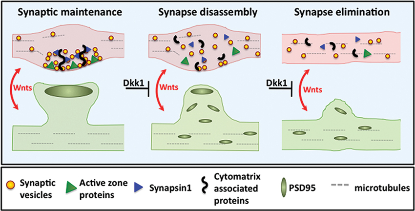 Role Of Neurotransmitters In Neuropsychriatric Diseases moreover Chemistry Of Ltp And Ltd besides 6050 furthermore Butyrylcholinesterase Overview Substrates Inhibitors Structure Mechanism Therapeutic Indications as well Full. on synaptic brain