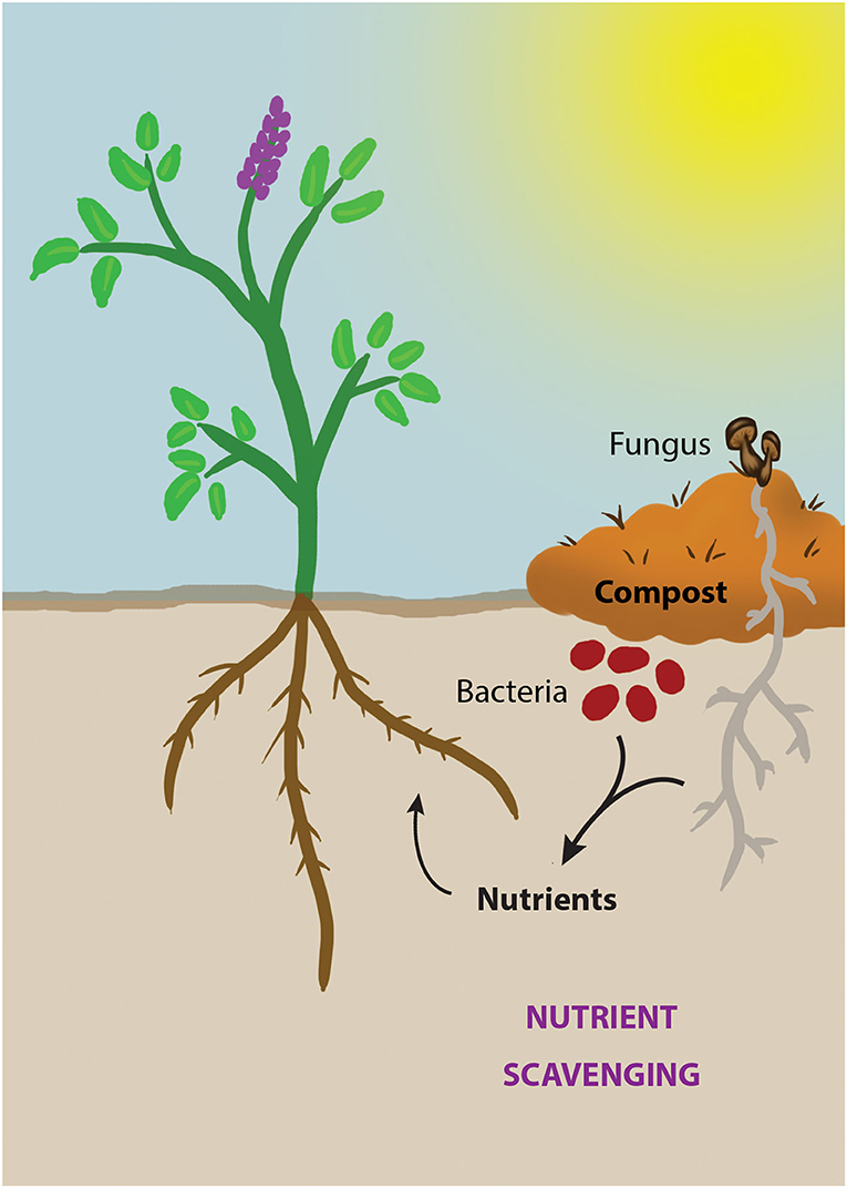 Figure 2 - Saprobionts are soil bacteria and fungi that help to feed plants by decomposing dead material in the soil, such as compost.