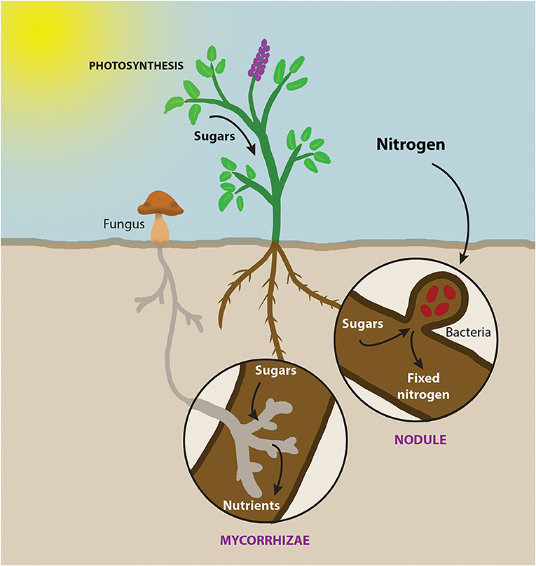 Figure 3 - Both bacteria and fungi can form symbiotic relationships with plant roots, which feed the plants and benefit the microbes.