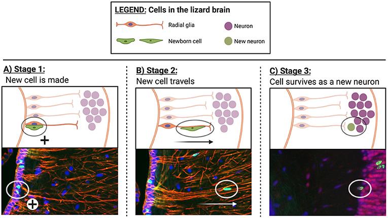Figure 3 - Brand new brain cells.