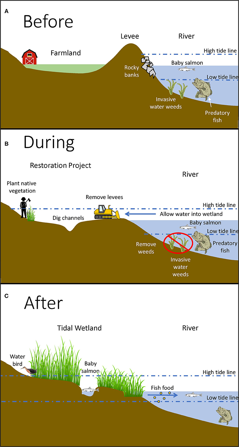 Figure 3 - (A) Before restoration, dry land is separated from tidal waters by structures like levees.