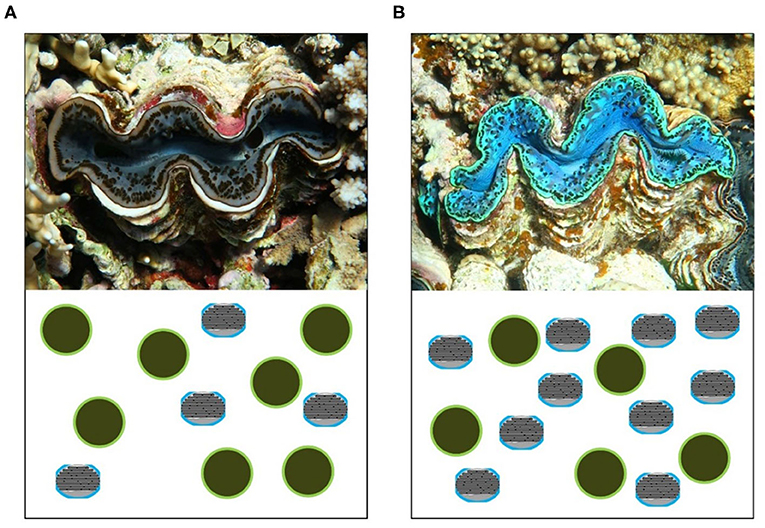 Figure 3 - The mix of iridocytes and microalgae determines the color of the giant clam's mantle.