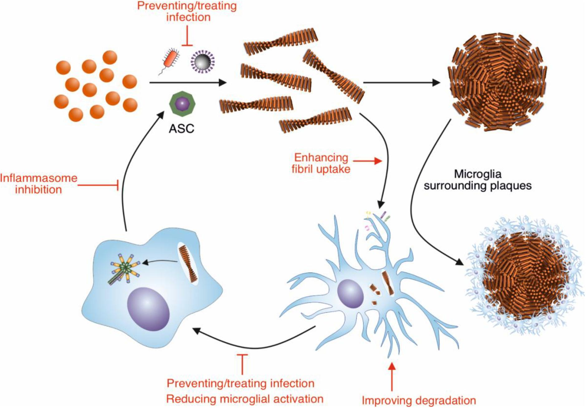 Frontiers Modulation Of B Amyloid Fibril Formation In Alzheimer S Disease By Microglia And Infection Molecular Neuroscience