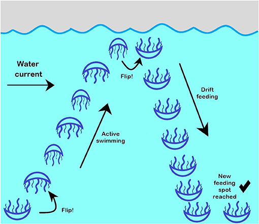 Figure 3 - Swimming behavior of a Black Sea jellyfish.