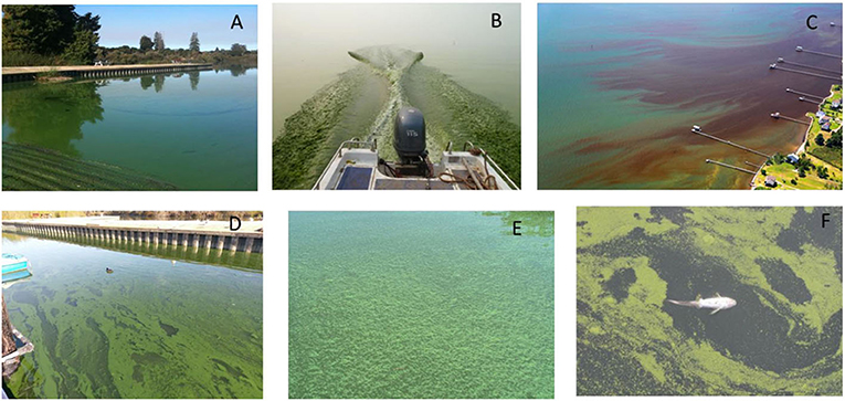 Figure 1 - (A) A Microcystis bloom in Pinto Lake, CA, USA turned the water bright green.