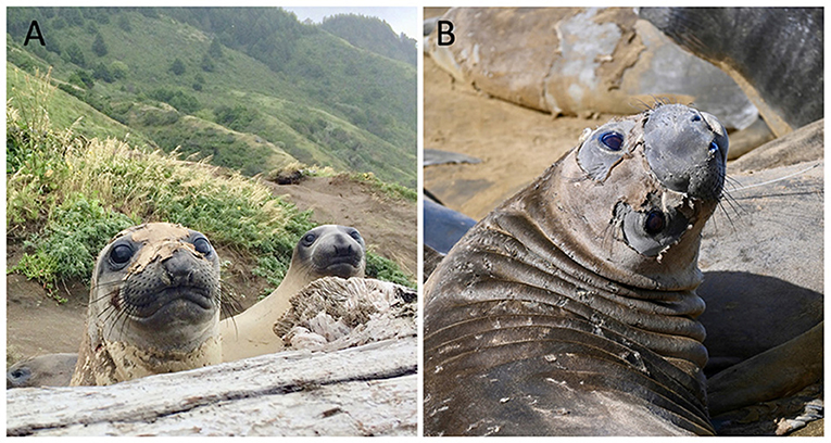 Figure 3 - These photos show the elephant seal catastrophic molt.