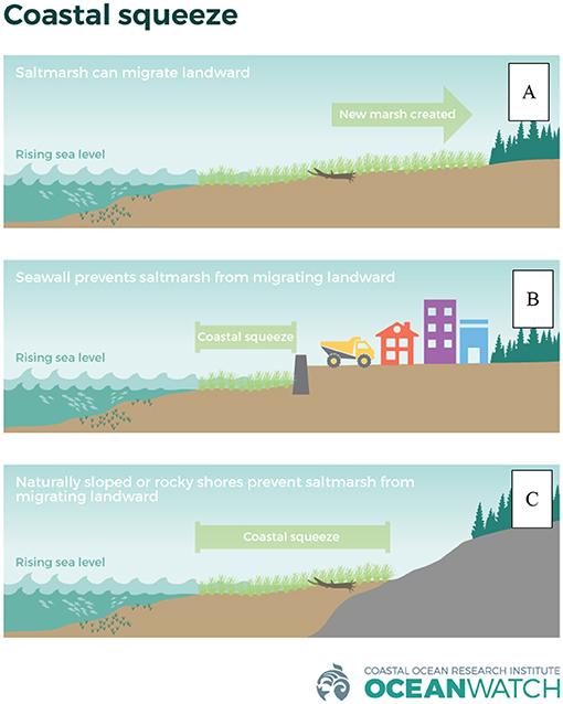 Figure 3 - (A) Normally, as sea level rises, wetlands naturally progress higher onto the surrounding shore.