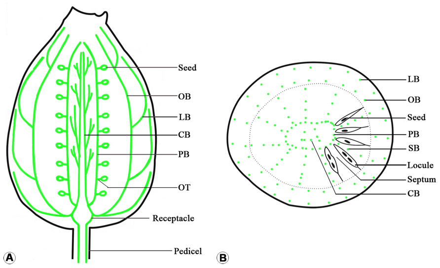 Frontiers Vascular Anatomy Of Kiwi Fruit And Its Implications For