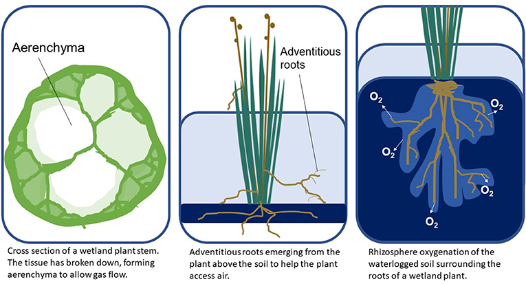 Figure 1 - Wetland plants use several adaptations to respond to flooding stress, including air pockets called aerenchyma, special roots above the soil called adventitious roots, and structures that release oxygen into the soil around the roots (Image credit: IAN Image Library, 2020).