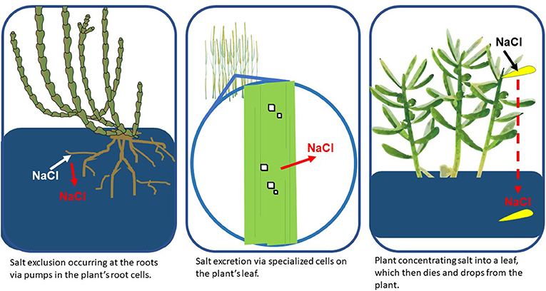 Figure 2 - Wetland plants use several adaptations to deal with salt (NaCl) stress, including preventing salt from entering the roots (exclusion), discharging salt from the leaves (excretion), or concentrating salt into a leaf which is later dropped from the plant (Image credit: IAN Image Library, 2020).