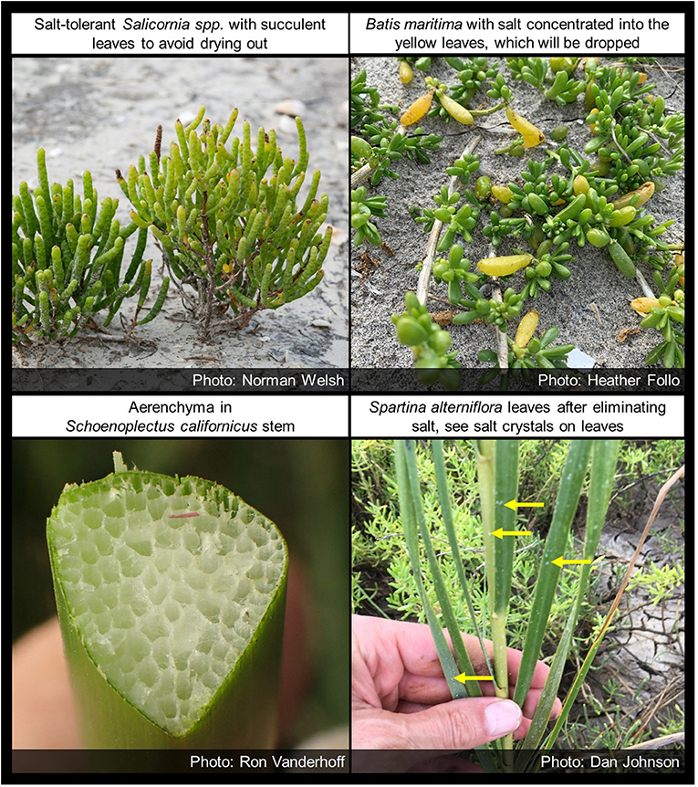 Figure 3 - Flood- and salt-tolerant adaptations in wetland plant species that live in the San Francisco Estuary.