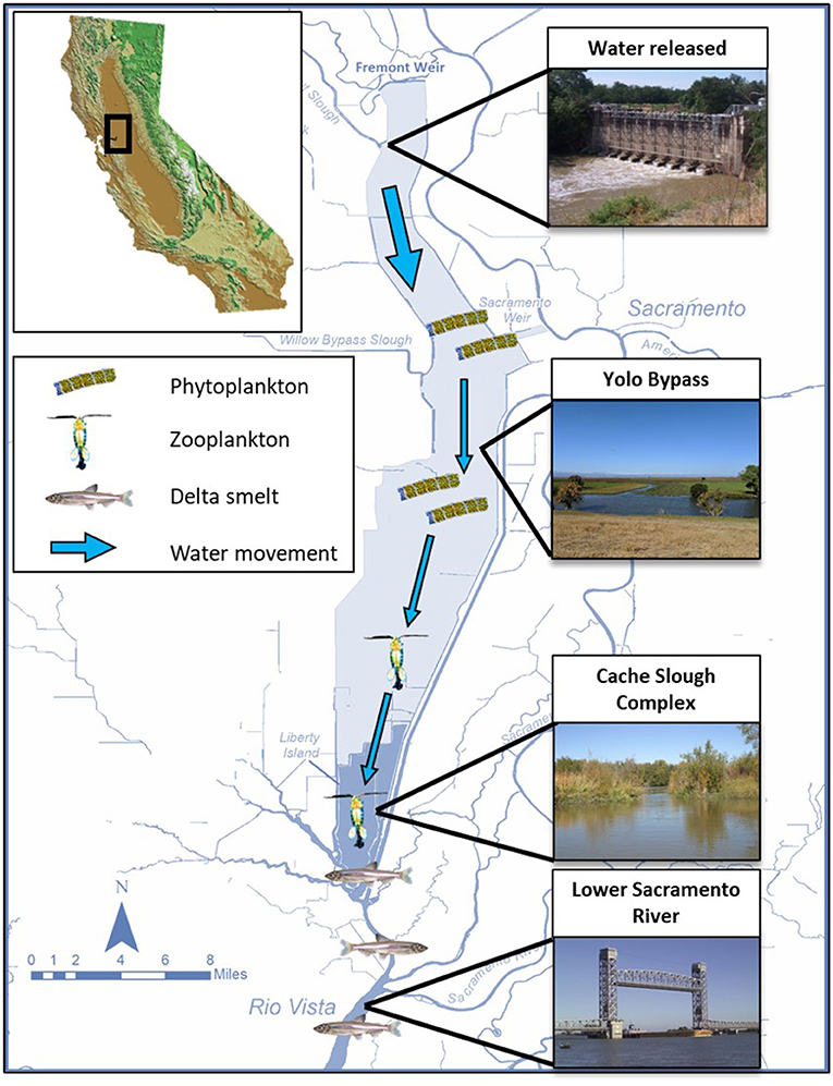 Figure 3 - The Yolo Bypass (a tidal floodplain) and Cache Slough Complex (a tidal wetland) are unique places in the San Francisco Estuary because they produce lots phytoplankton and zooplankton.