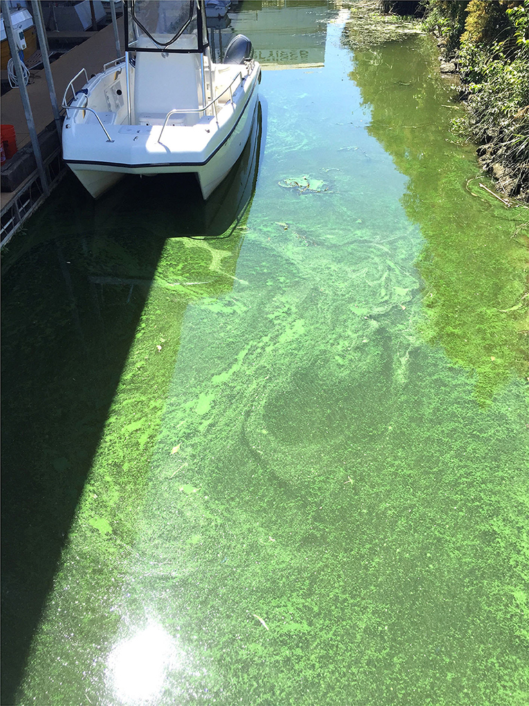 Figure 3 - A harmful algal bloom caused by overgrowth of Microcystis algae in the San Francisco Estuary.