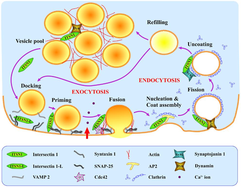 Frontiers Intersectin The Crossroad Between Vesicle Exocytosis