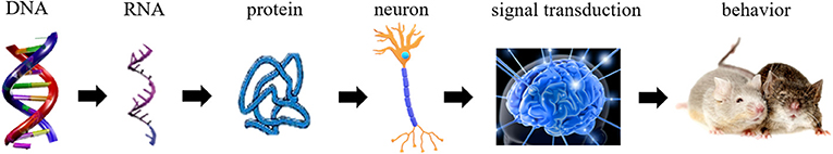 Figure 2 - The chain of processes in the brain that eventually affects behavior.
