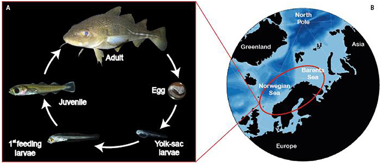 Figure 1 - (A) The life cycle of cod.