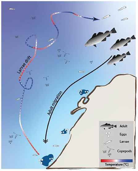 Figure 3 - Adult cod migrate hundreds of kilometers from the cold, deep Barents Sea to the warmer coastal waters of the Norwegian Sea, where they release their eggs.