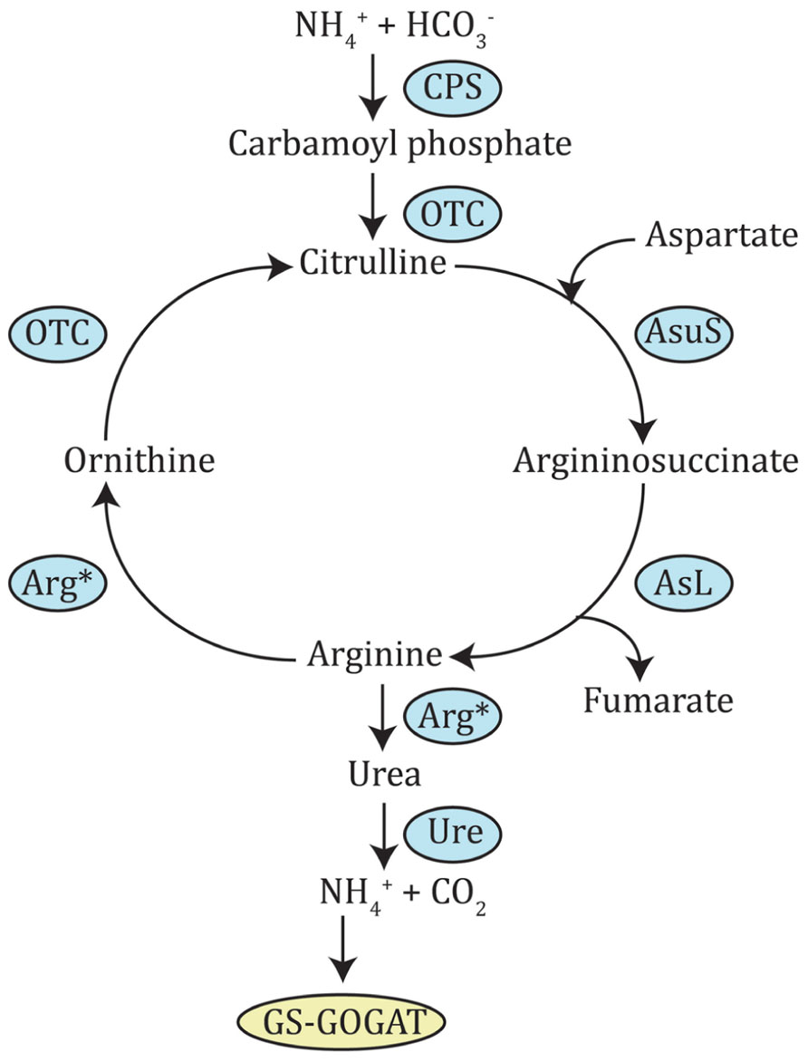 arginine sythesis pathway About this pathway most of the citrulline circulating in the blood of mammals comes from glutamine conversion in enterocytes, the intestinal absorptive cells found in the mucosa of the small intestine several other amino acids can also act as citrulline precursors, including glutamate, proline, and arginine.