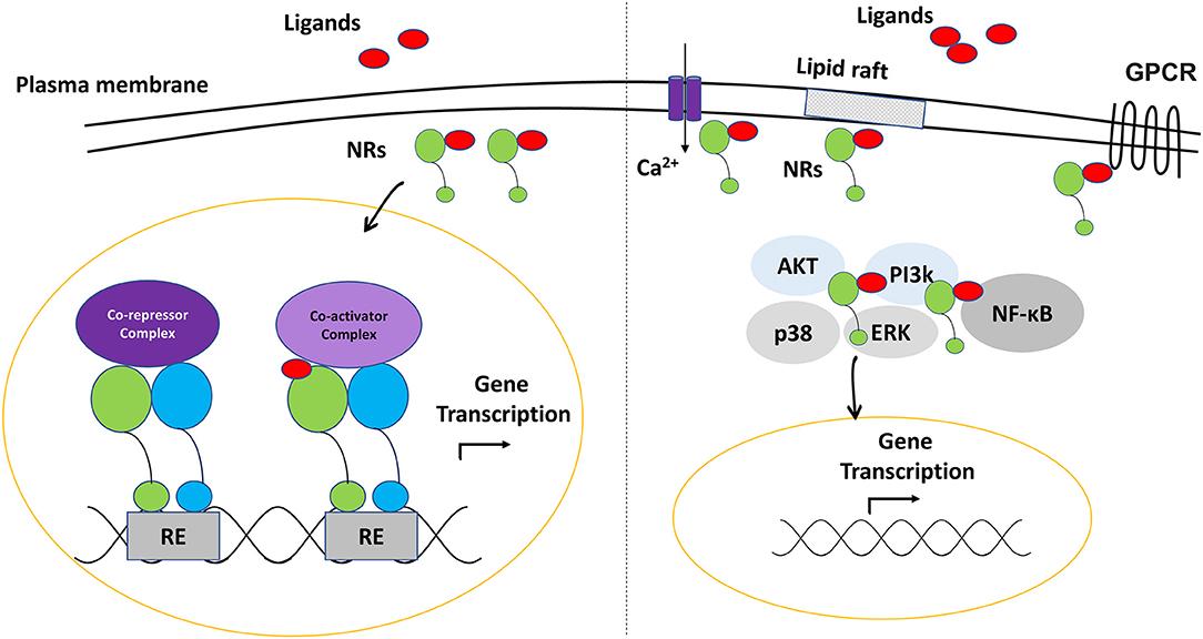 Frontiers Nuclear Receptors As Multiple Regulators Of Nlrp3 Inflammasome Function Immunology
