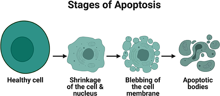 Figure 1 - Stages of apoptosis.