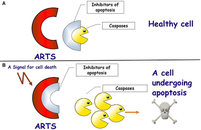 Figure 2 - The role of the ARTS protein in activating apoptosis in cells.