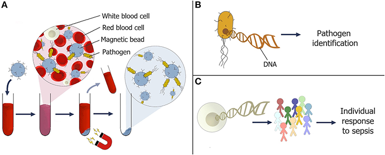 Figure 3 - (A) Magnetic particles coated in receptors are being developed to capture pathogens in a blood sample.