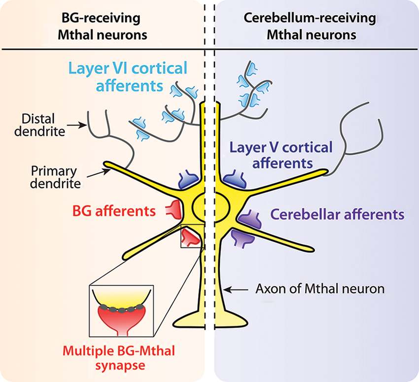 Frontiers | Motor thalamus integration of cortical, cerebellar and ...