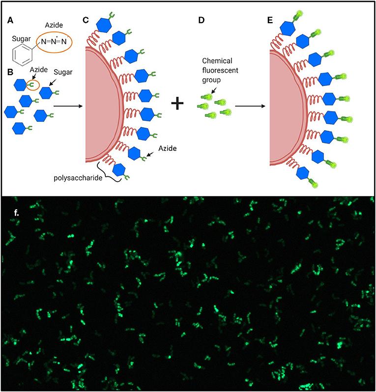 Figure 2 - Production of Fluorescent Bacteria.