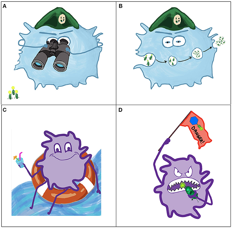 Figure 3 - Bacteria interact with cells of the immune system.