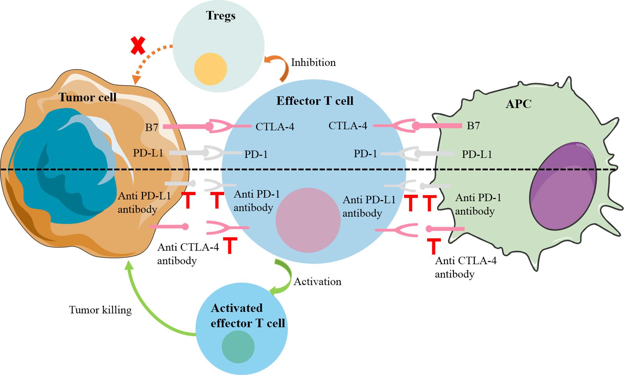 l immunotherapie cancer colorectal)