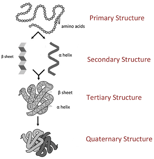 Figure 1 - The structure of a protein.