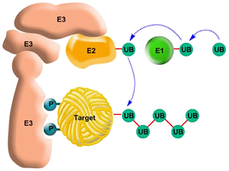 Figure 4 - The ubiquitin system for tagging proteins for degradation.