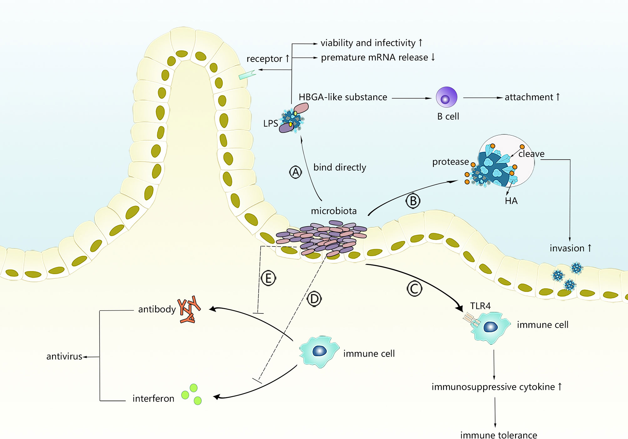 Frontiers | Intestinal Microbiota—A Promising Target for Antiviral Therapy?  | Immunology
