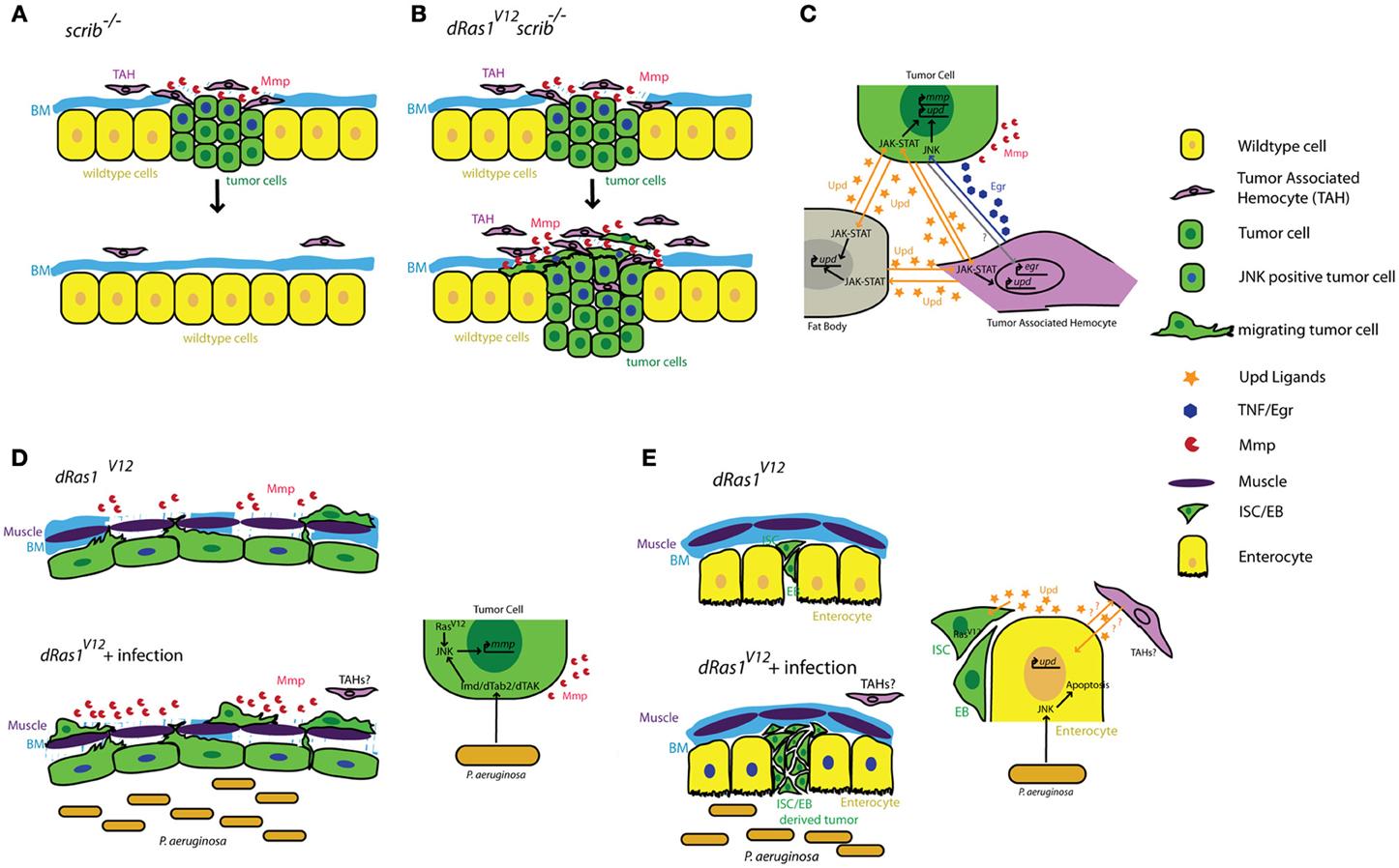 an analysis of drosophila